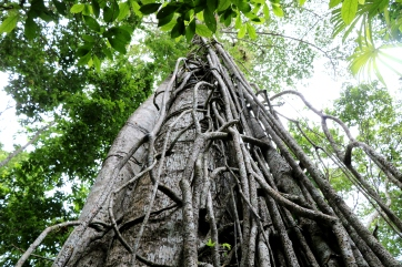 There are many beautiful trees in the Mayan Forest