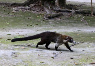 We spotted a Coatimundi at Tikal