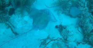 We spotted a large ray