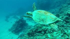 A beautiful turtle cruising through the reef